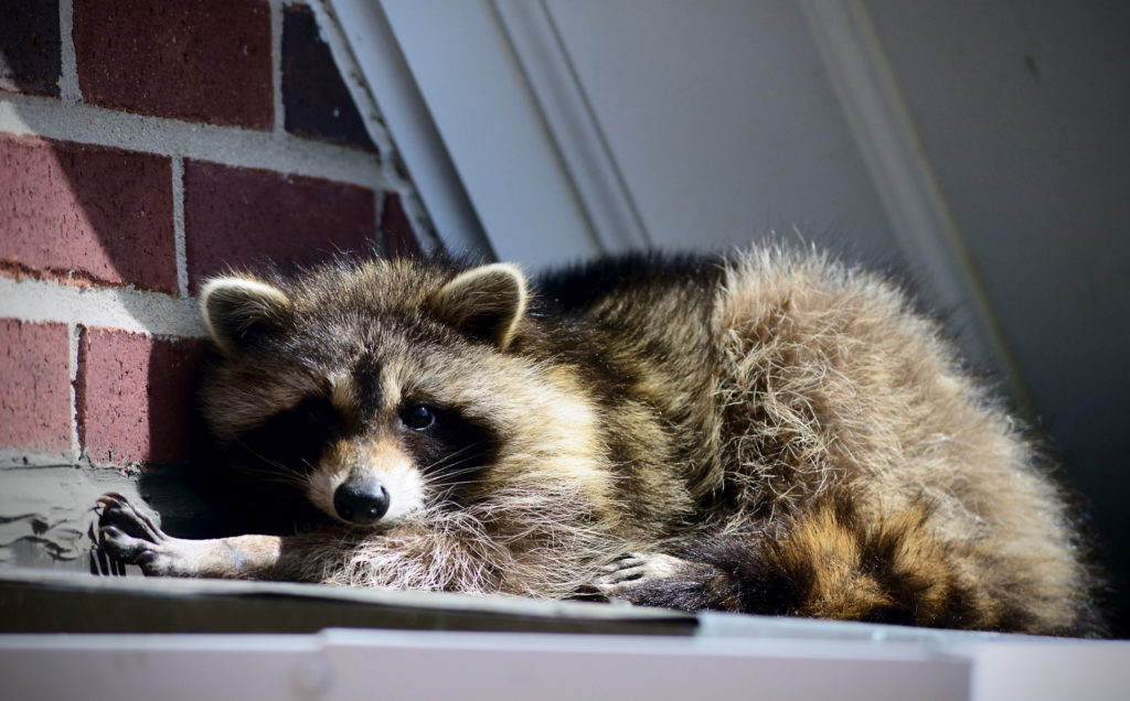 raccoon entering the soffit of a home